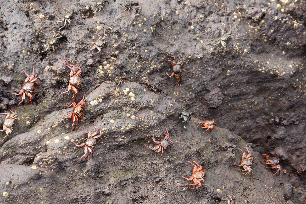 These are Sally Lightfoot Crabs. The young ones are black and the red ones are mature adults.