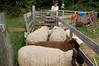 At Lacrover: Sheep awaiting shearing