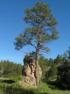 This tree has a nice pet rock.