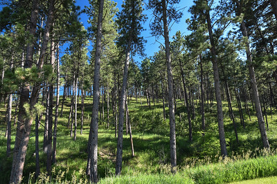 A photo of the lodgepole pine forest behind our campsite.