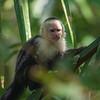 White-faced Capuchin 2