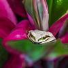 Masked Tree Frog in Bromeliad