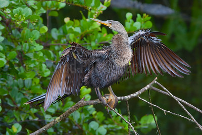 Anhinga Drying its Feathers