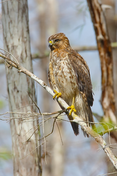 Red-shouldered Hawk (Juvenile)