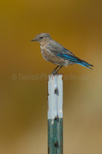 Mountain Bluebird (F)