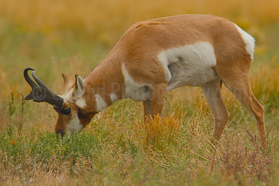 Grazing Pronghorn