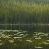 Dead Water-lilies in a Pine-forest