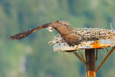 Osprey Take-off