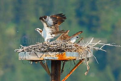 Osprey Landing at Nest