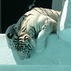 There's one of the most beautiful creature on earth.... the White Tiger at the Mirage.