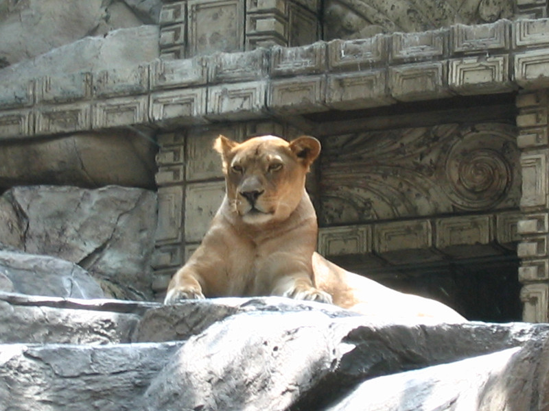 There's one of the Lions that call MGM home... cute little guy! :-)