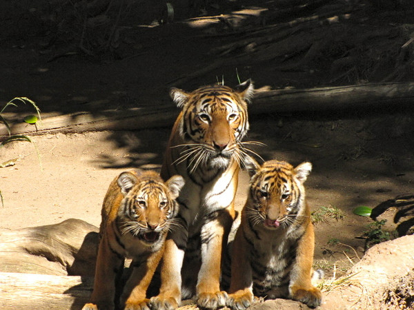 One of Nancy's favorite animals to observe... tigers. Wondering how much she'd like them though if she ran into them out in the wild? :-)