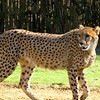 There's the gorgeous Cheetah... the fastest land animal in the world... and also one of the fastest Roller Coasters at Busch Gardens. :-)