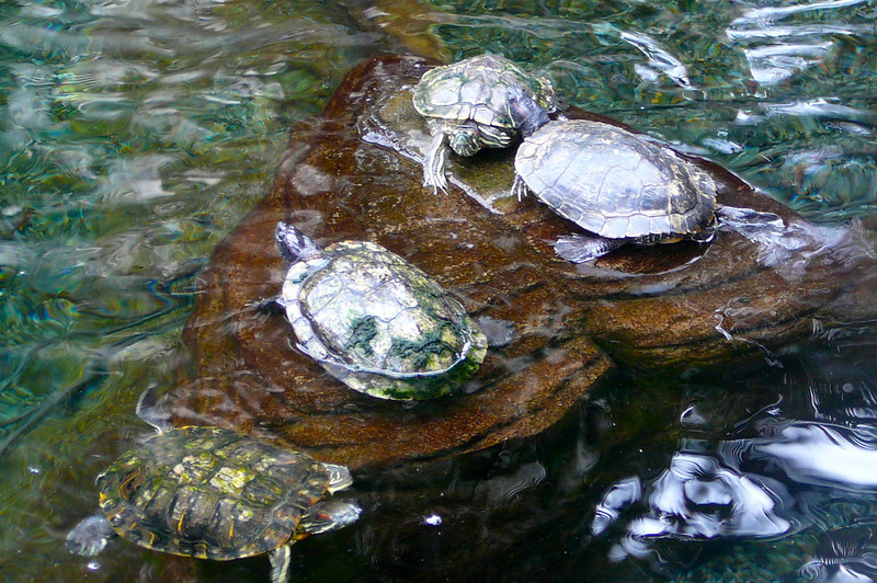What Hawaiian Resort would be complete without having some Sea Turtles around. :-) Aren't they the cutest!!