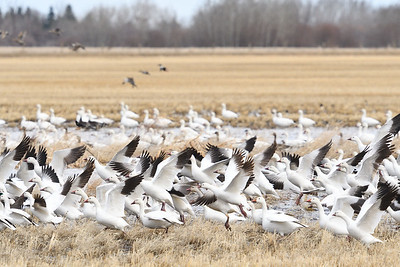 Snow Geese and cohorts