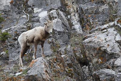 Rocky Mountain Sheep