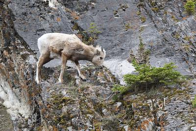 Juvenile Rocky Mountain Sheep