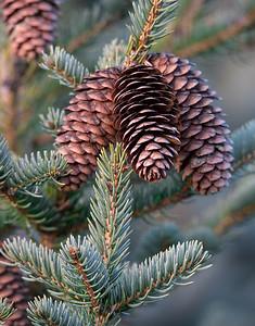Blackhills Spruce Cones