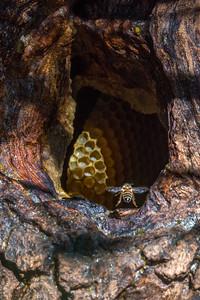 The Last Wild Honeybee...?