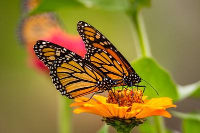 Twin Monarchs