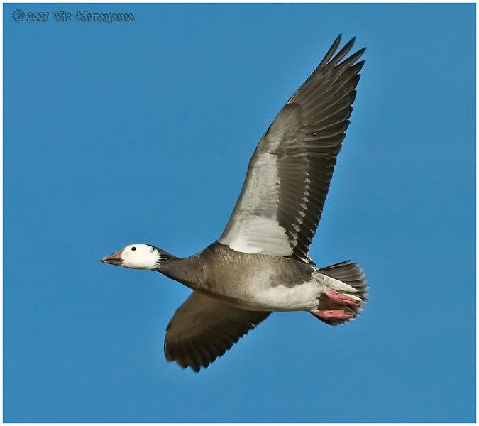 Snow Goose - Blue Morph