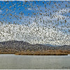 Snow and Ross's Geese