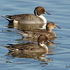 Northern Pintail drakes and hen