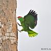 Red-crowned Parrot<br /> Elizabeth St, Brownsville