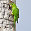 Green Parakeet<br /> Elizabeth St, Brownsville