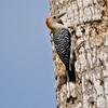 Golden-fronted Woodpecker<br /> Elizabeth St, Brownsville