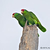 Red-crowned Parrots<br /> Elizabeth St, Brownsville