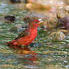 Male Summer Tanager<br /> Laguna Atascosa NWR
