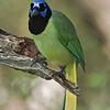 Green Jay<br /> Laguna Atascosa NWR