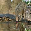 Coyote<br /> Laguna Atascosa NWR