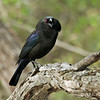 Male Bronzed Cowbird<br /> Laguna Atascosa NWR