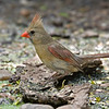 Female Northern Cardinal<br /> Laguna Atascosa NWR