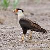 Crested Caracara<br /> Buena Vista Rd s/o Laguna Atascosa NWR