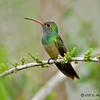 Male Buff-bellied Hummingbird<br /> Estero Llano Grande State Park