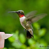 Male Ruby-throated Hummingbird<br /> Estero Llano Grande State Park