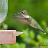 Female Ruby-throated Hummingbird<br /> Estero Llano Grande State Park