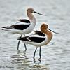 American Avocets<br /> Estero Llano Grande State Park
