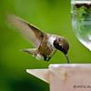 Male Black-chinned Hummingbird<br /> Estero Llano Grande State Park