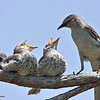 Mockingbird fledglings being fed by one of the parents