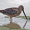 Long-billed Dowitcher<br /> Estero Llano Grande State Park, Weslaco