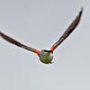 Scissor-tailed Flycatcher<br /> Salineno