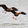 Black-bellied Whistling-Ducks<br /> Estero Llano Grande State Park, Weslaco