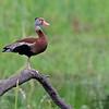 Black-bellied Whistling-Duck<br /> Estero Llano Grande State Park, Weslaco