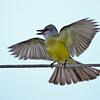 Couch's Kingbird<br /> Estero Llano Grande State Park, Weslaco