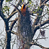 Altamira Oriole female building her nest.<br /> Bentsen-Rio Grande Valley State Park, Mission