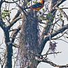 Altamira Oriole female building her nest.<br /> Bentsen-Rio Grande Valley State Park, Mission